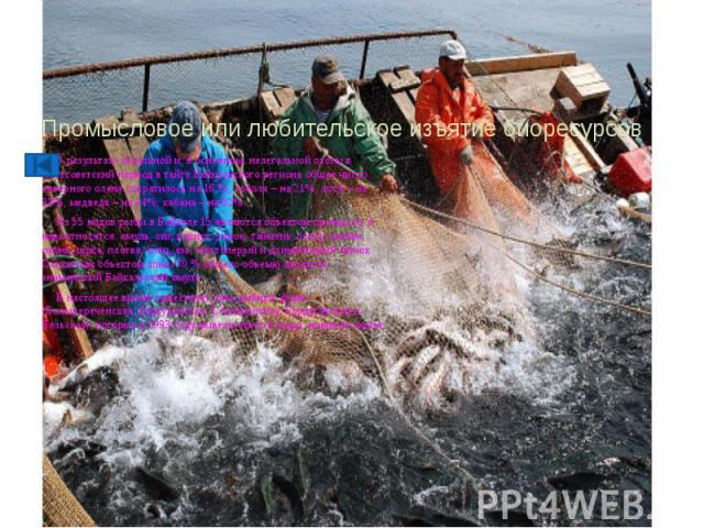 Промысловое или любительское изъятие биоресурсов В результате легальной и, в основном, нелегальной охоты в постсоветский период в тайге Байкальского региона общее число северного оленя сократилось на 16 %, соболя – на 21%, лося – на 33%, медведя – н…