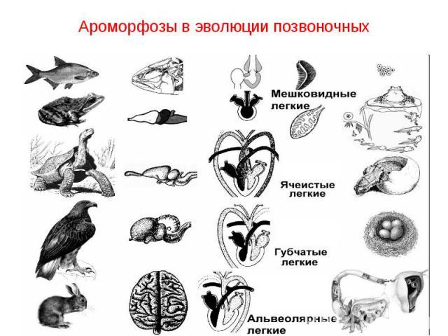 Ароморфозы в эволюции позвоночных