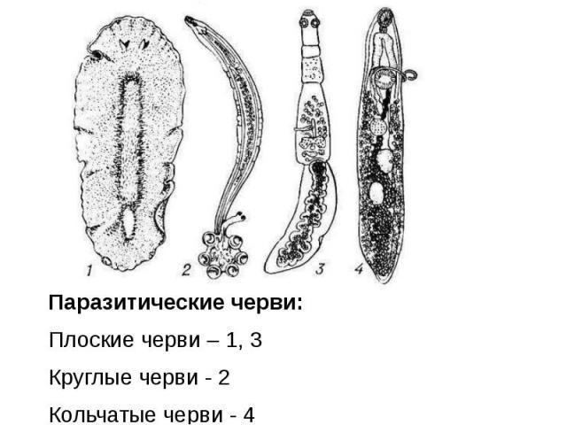 Паразитические черви: Плоские черви – 1, 3 Круглые черви - 2 Кольчатые черви - 4