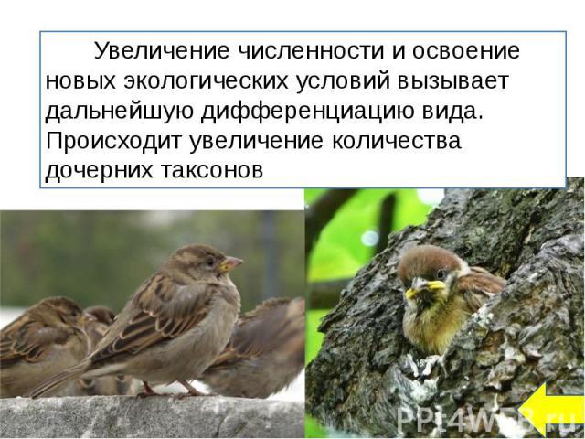Увеличение численности и освоение новых экологических условий вызывает дальнейшую дифференциацию вида. Происходит увеличение количества дочерних таксонов