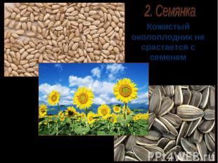 2. Семянка Кожистый околоплодник не срастается с семенем