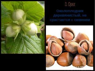 Околоплодник деревянистый, не срастается с семенем