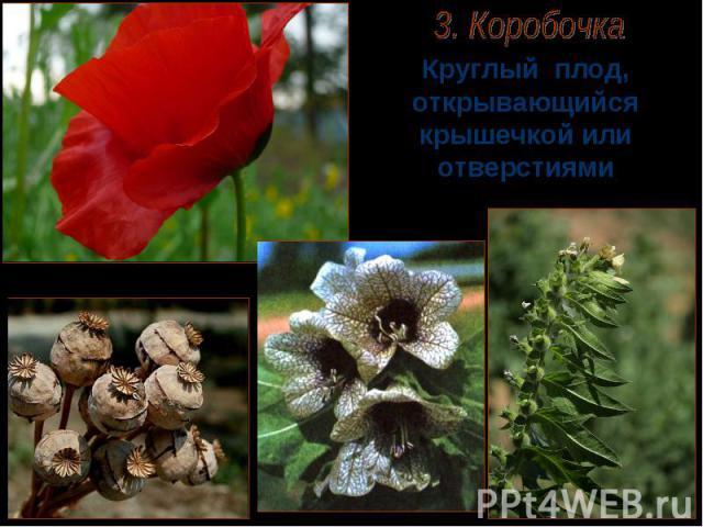 Круглый плод, открывающийся крышечкой или отверстиями