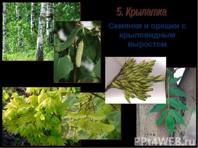 Семянки и орешки с крыловидным выростом