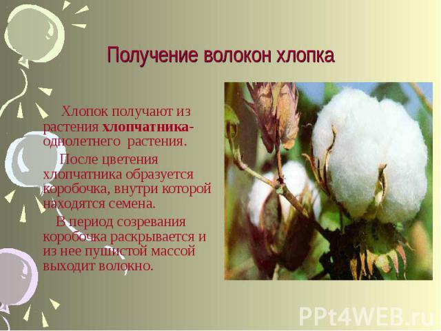 Хлопок получают из растения хлопчатника- однолетнего растения. После цветения хлопчатника образуется коробочка, внутри которой находятся семена. В период созревания коробочка раскрывается и из нее пушистой массой выходит волокно.