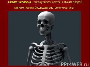 Скелет человека – совокупность костей. Служит опорой мягким тканям. Защищает вну