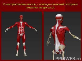 К ним приклеплены мышцы, с помощью сухожилий, которые и позволяют им двигаться.