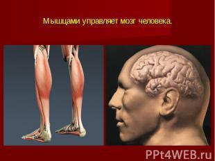 Мышцами управляет мозг человека.