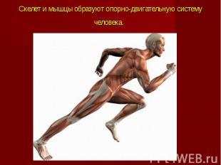 Скелет и мышцы образуют опорно-двигательную систему человека.