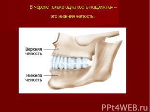 В черепе только одна кость подвижная – это нижняя челюсть.