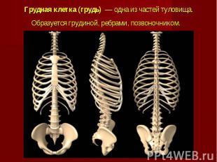 Грудная клетка (грудь)— одна из частейтуловища. Образуется&nbs