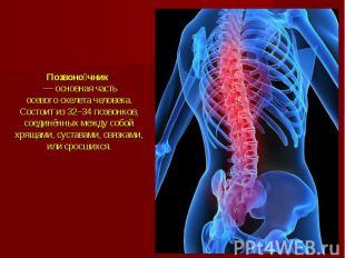 Позвоночник— основная часть осевогоскелета человека. Состоит и