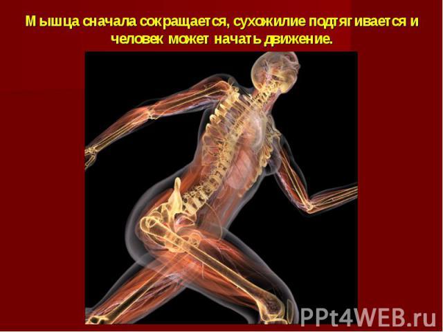 Мышца сначала сокращается, сухожилие подтягивается и человек может начать движение.
