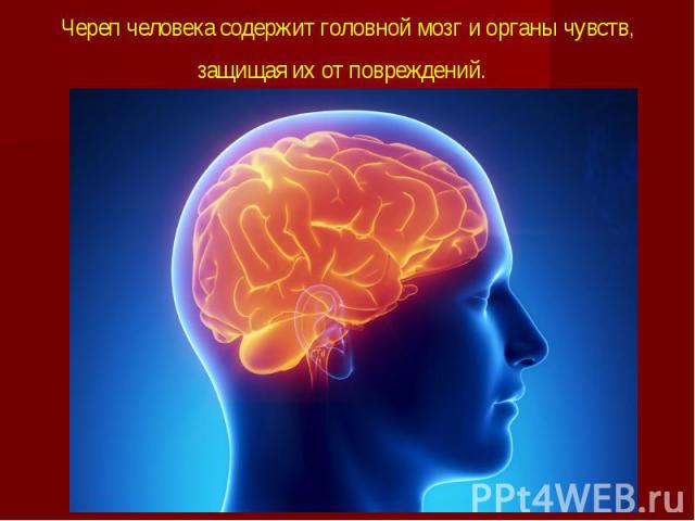 Череп человека содержитголовной мозгиорганы чувств, защищая их от повреждений.