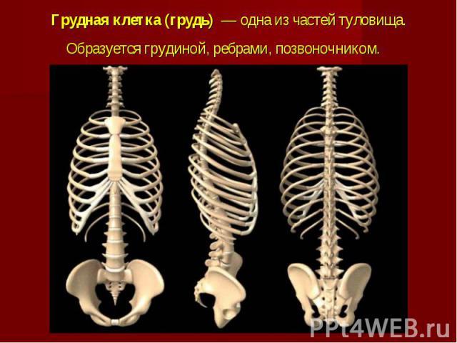 Грудная клетка (грудь)— одна из частейтуловища. Образуетсягрудиной, ребрами, позвоночником.