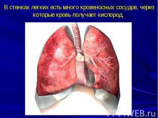 В стенках легких есть много кровеносных сосудов, через которые кровь получает ки