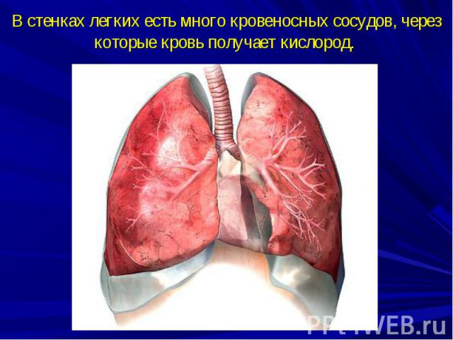 В стенках легких есть много кровеносных сосудов, через которые кровь получает кислород.
