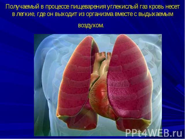 Получаемый в процессе пищеварения углекислый газ кровь несет в легкие, где он выходит из организма вместе с выдыхаемым воздухом.