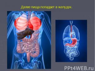 Далее пища попадает в желудок.