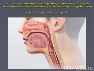 Глотка— часть пищеварительной трубки и дыхательных путей, которая является