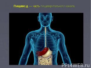 Пищевод— частьпищеварительного канала.