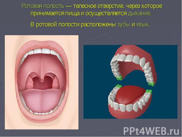 Ротовая полость— телесное отверстие, через которое принимается пища и осуществляетсядыхание. В ротовой полости расположенызубыиязык.