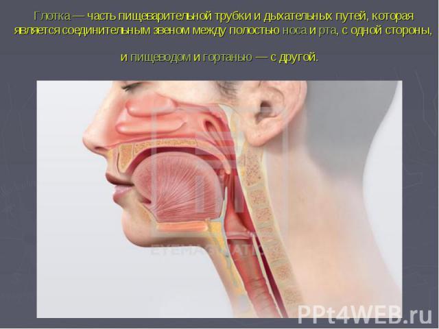 Глотка— часть пищеварительной трубки и дыхательных путей, которая является соединительным звеном между полостьюносаирта, с одной стороны, ипищеводомигортанью— с другой.