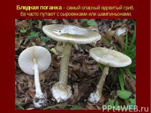 Бледная поганка - самый опасный ядовитый гриб. Ее часто путают с сыроежками или