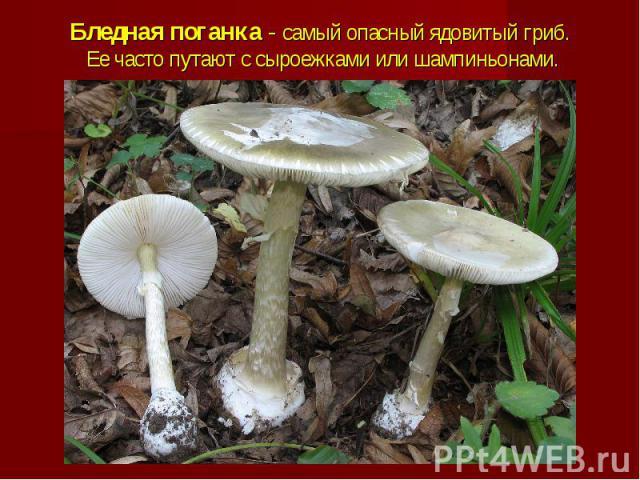 Бледная поганка - самый опасный ядовитый гриб. Ее часто путают с сыроежками или шампиньонами.