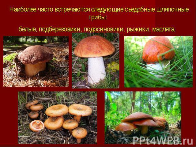 Наиболее часто встречаются следующие съедобные шляпочные грибы: белые, подберезовики, подосиновики, рыжики, маслята.