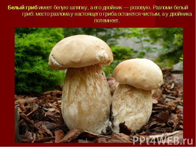 Белый грибимеет белую шляпку, а его двойник — розовую. Разломи белый гриб: место разлома у настоящего гриба останется чистым, а у двойника потемнеет.