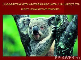В эвкалиптовых лесах Австралии живут коалы. Они не могут есть ничего, кроме лист
