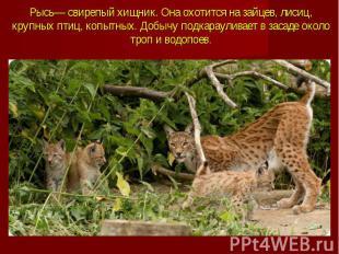 Рысь— свирепый хищник. Она охотится на зайцев, лисиц, крупных птиц, копытных. До