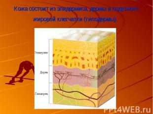 Кожа состоит из эпидермиса,дермыи подкожно-жировой клетчатки (гиподе