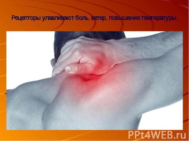 Рецепторы улавливают боль, ветер, повышение температуры.