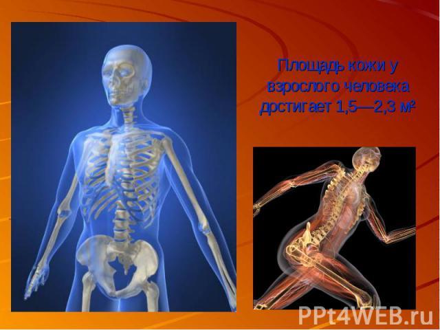 Площадь кожи у взрослого человека достигает 1,5—2,3 м²