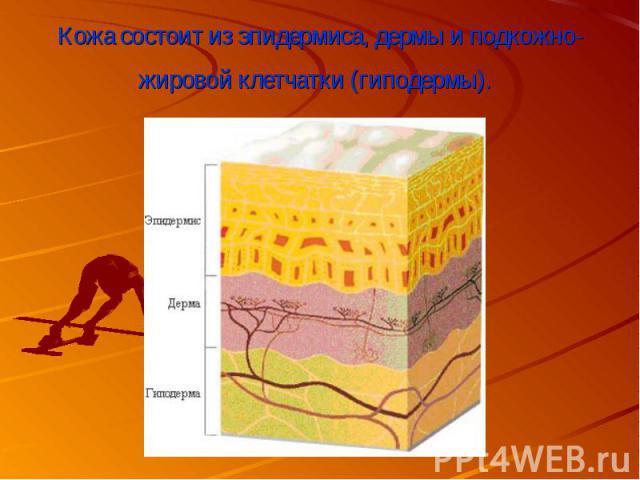 Кожа состоит из эпидермиса,дермыи подкожно-жировой клетчатки (гиподермы).