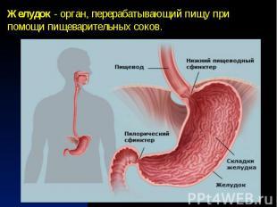 Желудок - орган, перерабатывающий пищу при помощи пищеварительных соков.