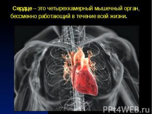 Сердце – это четырехкамерныймышечный орган, бессменно работающий в т