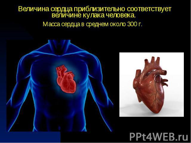 Величинасердца приблизительно соответствует величине кулака человека.Масса сердца в среднем около 300 г.
