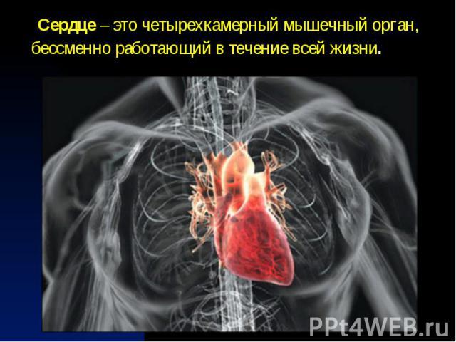 Сердце – это четырехкамерныймышечный орган, бессменно работающий в течение всей жизни.