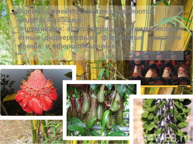 Восемь семейств растений являются мадагаскарскими эндемиками:астеропейные,дидимелесоцветные,дидиереевые,физеновые ,сарколеновые исферосепаловые. Восемь семейств растений являются мада…