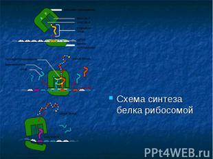 Схема синтеза белка рибосомой Схема синтеза белка рибосомой