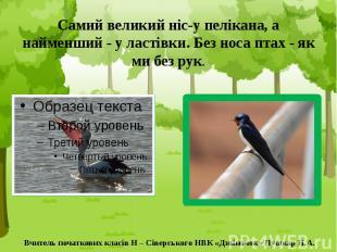 Самий великий ніс-у пелікана, а найменший - у ластівки. Без носа птах - як ми бе