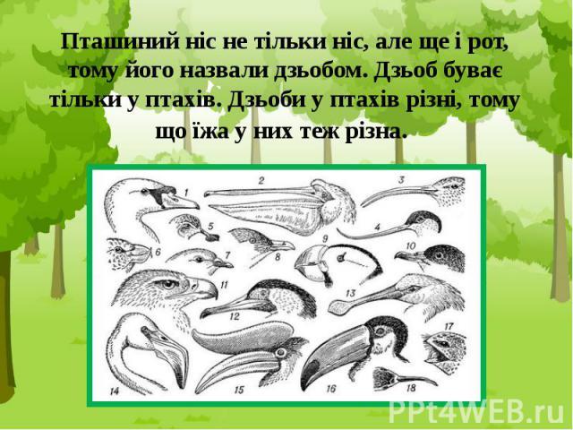 Пташиний ніс не тільки ніс, але ще і рот, тому його назвали дзьобом. Дзьоб буває тільки у птахів. Дзьоби у птахів різні, тому що їжа у них теж різна.