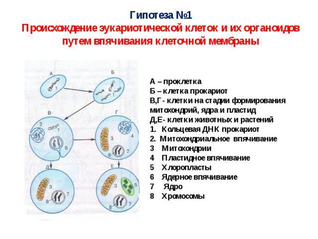 Гипотеза №1Происхождение эукариотической клеток и их органоидов путем впячивания клеточной мембраны
