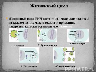 Жизненный циклЖизненный цикл ВИЧ состоит из нескольких этапов и на каждом из них