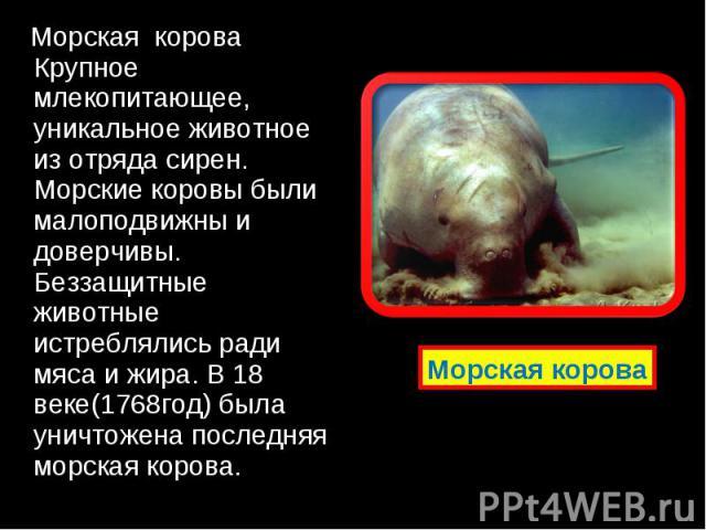 Морская корова Крупное млекопитающее, уникальное животное из отряда сирен. Морские коровы были малоподвижны и доверчивы. Беззащитные животные истреблялись ради мяса и жира. В 18 веке(1768год) была уничтожена последняя морская корова. Морская корова …