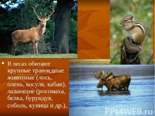 В лесах обитают крупные травоядные животные (лось, олень, косуля, кабан), лазающ