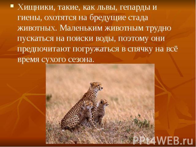 Хищники, такие, как львы, гепарды и гиены, охотятся на бредущие стада животных. Маленьким животным трудно пускаться на поиски воды, поэтому они предпочитают погружаться в спячку на всё время сухого сезона. Хищники, такие, как львы, гепарды и гиены, …